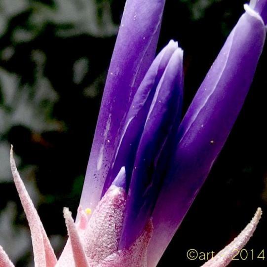 Tillandsia II hondurensis 5