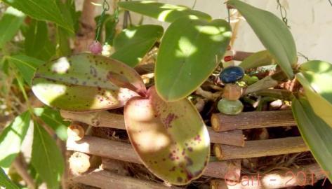 Cattleya Peckaviensis
